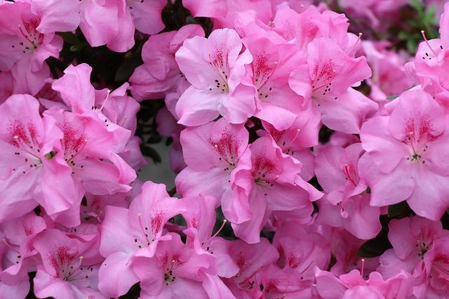 růžové azalky
